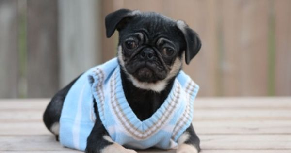 Fairytailpuppies Where Pets Are Family Too Black Tan Pug Pugs