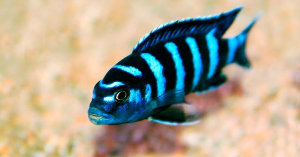 Been wanting some of these demasoni african cichlids for Your inner fish summary