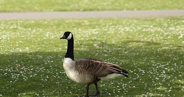 Canada Goose Knocks Out Us Hunter Canada Goose Health Eating Knock Knock
