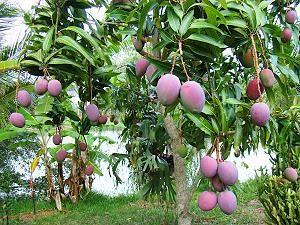 Manguier Arbre A Mangues Arbre Fruitier Fruits Exotiques Palmiers
