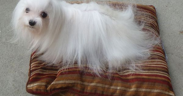 Maltese Breeder From Lachicpatte Com Teacup Puppies Maltese Maltese Puppy Little Dogs