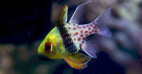 Sphaeramia Nematoptera Pyjama Kardinaalbaars Rustige Scholenvis Heeft In Aquarium Vrije Ruimte Nodig Om Schooltje Te Vormen G Vissen Oceaanleven Aquarium