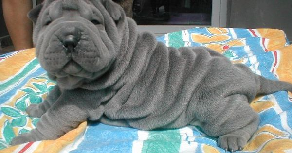 Gallery For > Grey Shar Pei Puppies