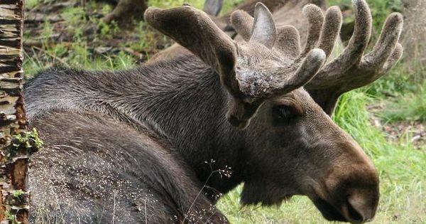 bull moose alden nowlan essay