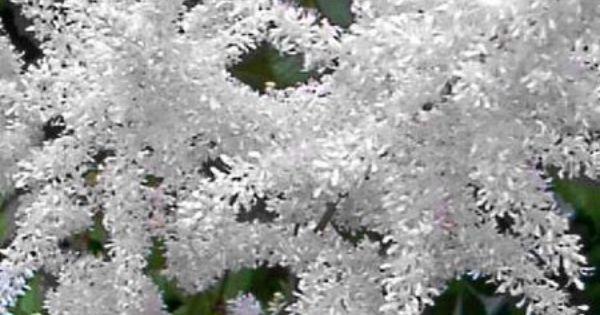 Astilbe de chine 39 brautschleier 39 blanche plantes et for Arbres plantes fleurs