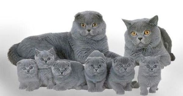 Blue Fold And British Adults With Scottish Fold And Scottish Shorthair Kittens Cats And Kittens Baby Animals Pretty Cats