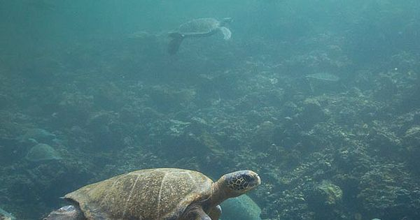Galapagos Green sea turtle, Isabella Island, Galapagos Islands, Ecuador. http://maupintour.com/tour/galapagos-islands-journey-tour