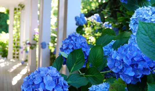 Such an intense blue hydrangea plant on the farmhouse porch!