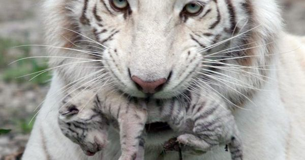 white tiger holding baby - photo #7