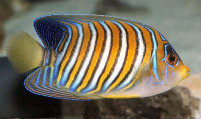 Regal Angelfish Google Search Angel Fish Saltwater Angelfish Fish Pet