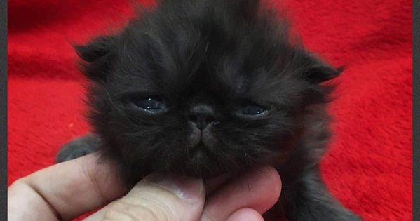 Here Is Fluffykins Astro Pop Lovin His Little Mohawk Black Persian Baby Boy 2 Weeks Old Fur Babies Persian Cat Cats And Kittens