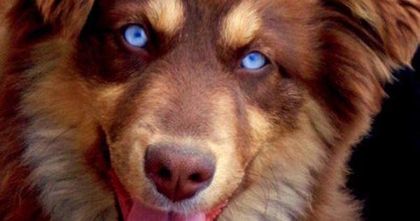 Australian Shepherd Red Tri Bet Blue Eyed Tri Adorable