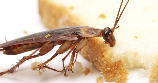 Pestrgone Provides Complete And Effective Cockroach Control Solutions In Toronto Our Technicians Ev Cockroach Control Cockroach Extermination Cockroaches