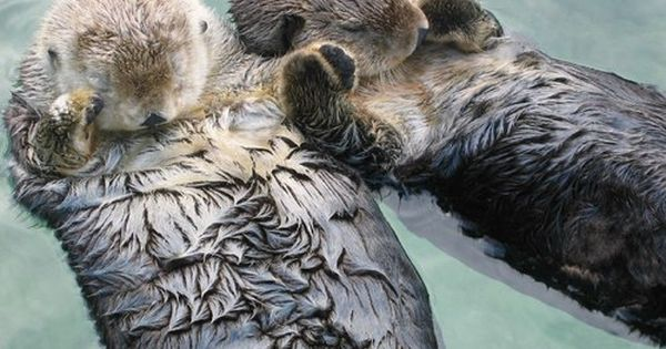 """Sea otters hold hands when they sleep, so they don't drift away"