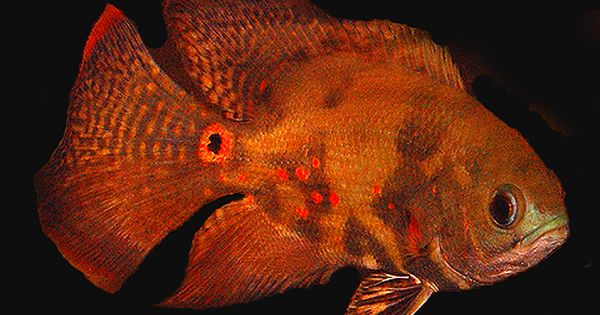 Oscar Fish Information Oscar Fish Oscar Fish For Sale Tropical Fish