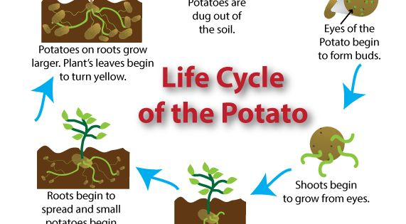 how to know when potato is ready to harvest