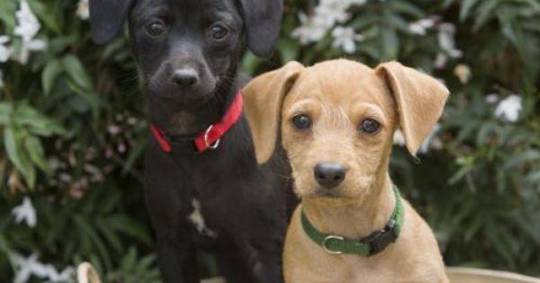 Skip Dachshund Schnauzer Dog Redwood City Ca Adoptadog Dogs