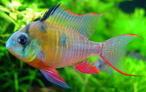 Rare exotic freshwater aquarium fish tropical for Rare aquarium fish