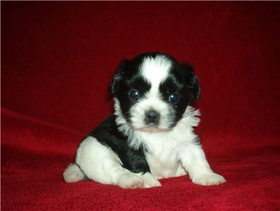 Shih Tzu Puppy Puppies Shih Tzu Shih Tzu Puppy
