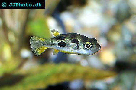 Detailed Aquarium Fish Profiles For Many Of The Tropical Fish We Keep Today Dwarf Puffer Fish Aquarium Fish Fresh Water Fish Tank