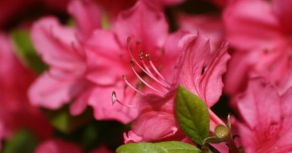 How To Grow Azaleas Outdoors Instead Of Indoors In Trays