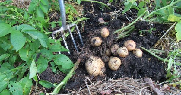Yokon Gold Potato Grown In A Straw Bale Straw Bale Gardening Pinterest Potatoes Growing