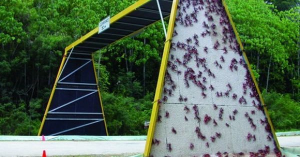 Red crabs climb over an overpass to cross a road on Christmas