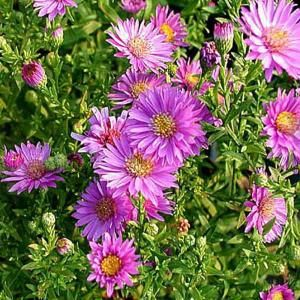 Onlineplantcenter 1 Gal Woods Pink Aster Plant A156cl The Home Depot Lily Plants Pink Plant Plants