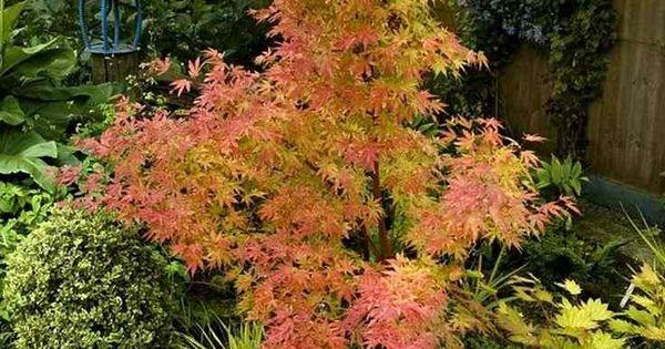 Rable du japon de l 39 esp ce orange dream plantes pinterest erable du japon erable et le japon - Erable du japon orange dream ...