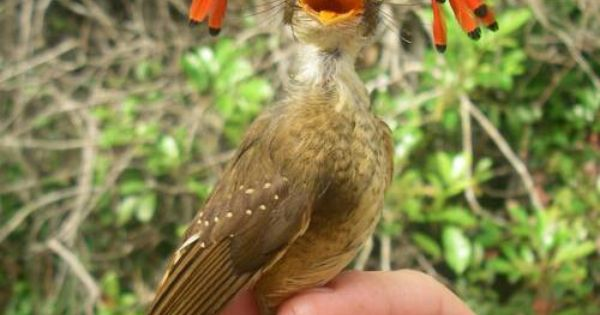 Amazonian Royal Flycatcher | An Amazing Nature | Pinterest ...