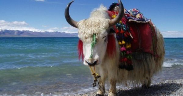 Cute Yak Animals Yak Animal Pictures