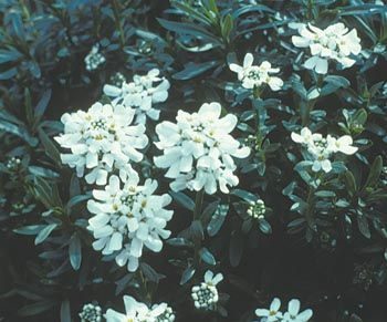 Candytuft Slow Spreading Mound Forming Evergreen Groundcover Growing From 8 12 Inches Tall Prefers Full Sun And Must Bodendecker Schattenbeet Schleifenblume