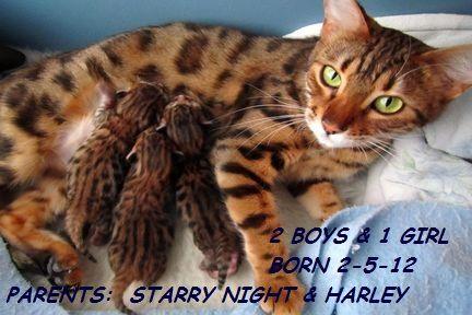 Illinois Chicago Bengal Cat Kitten Breeders Bengal Cat Breeders Bengal Cat Kitten Bengal Cat Bengal Cat Breeders