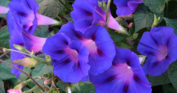 Love The Amazing Blues And Purples On These Glories Morning Glory Flowers Morning Glory Plant Morning Glory