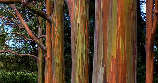 Rainbow Eucalyptus trees on road to Hana, Maui