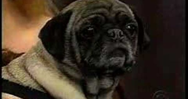 Talking Pug On Letterman I Love You My All Time Favorite Pug