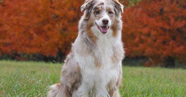 Pin Von N Jok Auf Australien Shepherd Hunde Australien