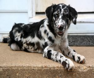 Adopt Mason On Australian Shepherd Dogs Great Dane Mix Unique