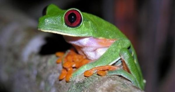 Red Eye Tree Frog Volunteer In Costa Rica With The Animal Rescue And Conservation Program For More Information Vis Costa Rica Animals Animals Animal Rescue