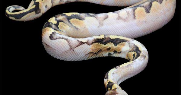Eclipse Ball Python Python regius