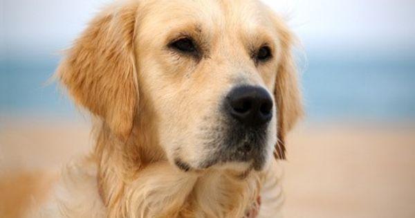 Golden Retriever 2019 Charakter Wesen Hund Tattoo Ideen Hunde Golden Retriever