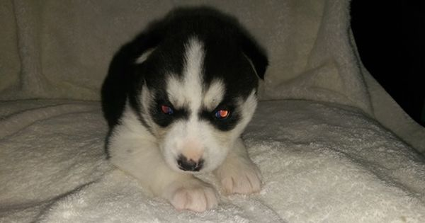 Litter Of 6 Siberian Husky Puppies For Sale In Ellendale Mn Adn