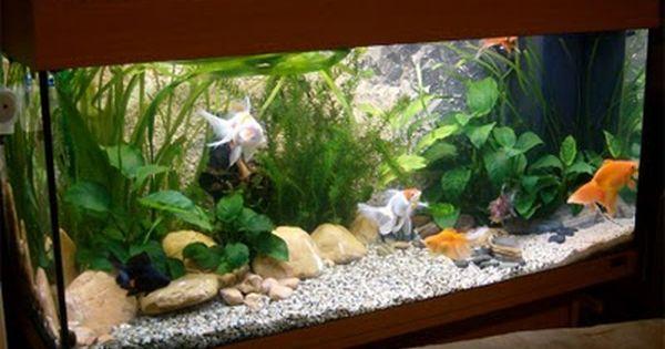 Creating a fancy goldfish setup juwel rio 180 for Fancy fish tanks