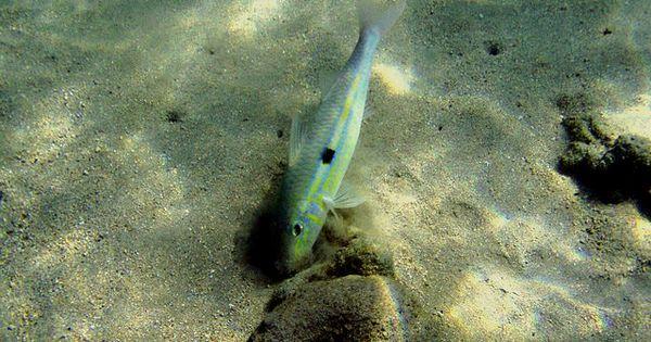 Fish Digging In The Sand Hanauma Bay Oahu Hawaii Oahu