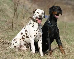 Comparison Of Dalmatian Vs Doberman Doberman Dog Breed Dog