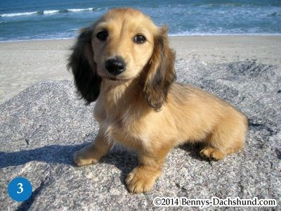 Specializing In English Cream Dachshunds Bennys Dachshunds Dachshund Breed Cream Dachshund Long Haired Dachshund