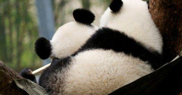 .Pandas cuddling.