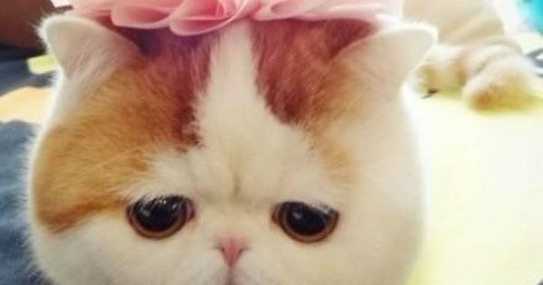 Love love love exotic shorthairs!