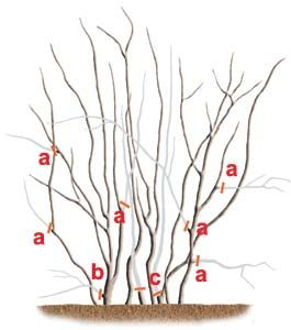 How To Prune Blueberries Pruning Blueberry Bushes Growing Blueberries Blueberry Bushes
