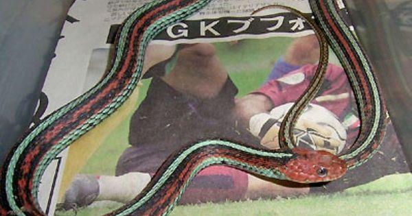 サンフランシスコガータースネーク 爬虫類 ヘビの基本知識と飼い方 ヘビ ガーター サンフランシスコ
